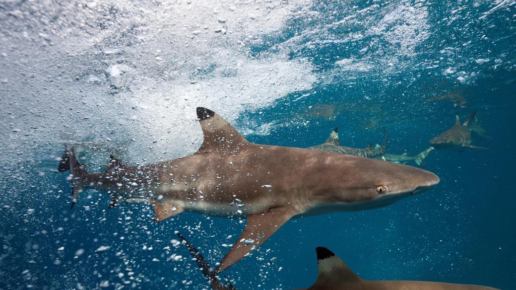 na03-JAN-Black-Tip-Reef-Shark.jpg